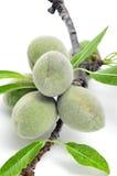 Зеленые миндалины Стоковые Фотографии RF