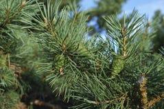 Зеленые молодые конусы на ветви сосны Стоковая Фотография