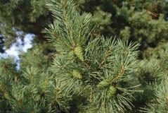 Зеленые молодые конусы на ветви сосны Стоковые Изображения RF
