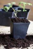 Зеленые, молодые томаты саженца Стоковые Фотографии RF