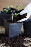 Зеленые, молодые томаты саженца Стоковая Фотография