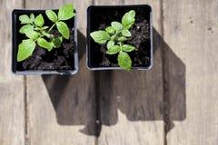 Зеленые, молодые томаты саженца Стоковое Фото