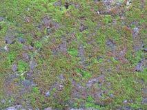 зеленые мхи Стоковая Фотография