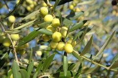 Зеленые незрелые оливки Стоковое фото RF