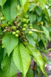 Зеленые незрелые ягоды вишни на ветвях среди листьев Стоковая Фотография RF