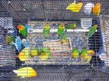 Зеленые неразлучники попугая Стоковое фото RF