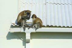 Зеленые обезьяны есть яичко на крыше Стоковые Изображения RF