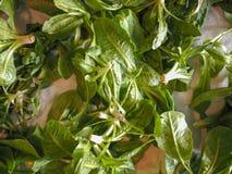 Зеленые овощи салата Стоковое Изображение RF