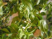 Зеленые овощи салата Стоковое фото RF