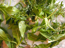 Зеленые овощи салата Стоковое Изображение