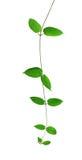 Зеленые лозы лист изолированные на белой предпосылке, пути клиппирования inc стоковое изображение