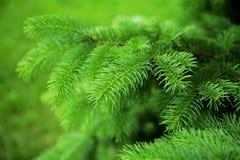 Зеленые острые иглы Стоковая Фотография RF