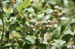 Зеленые одичалые голубики Стоковое Фото