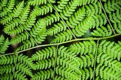 Зеленые папоротники Стоковое Изображение RF