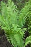 Зеленые папоротники Стоковые Фото