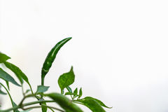 Зеленые перцы на белой предпосылке Стоковое Изображение