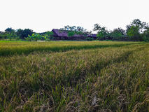 Зеленые поле и коттедж рисовых полей Стоковые Изображения RF