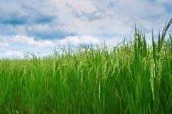 Зеленые поле и небо риса Стоковые Фото