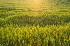 Зеленые поля неочищенных рисов земледелия Стоковые Изображения RF