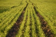Зеленые поля пшеницы весной свежая зеленая трава пшеницы в sunl Стоковое Изображение RF