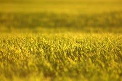 Зеленые поля пшеницы весной свежая зеленая трава пшеницы в sunl Стоковые Изображения RF