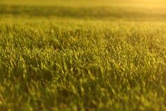 Зеленые поля пшеницы весной свежая зеленая трава пшеницы в sunl Стоковые Фото