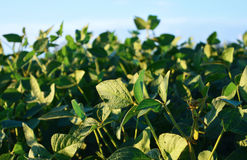 Зеленые поля сои eco Внешний и поле Стоковое Изображение RF