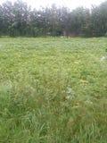 Зеленые поля с зелеными растениями и деревьями Стоковая Фотография RF
