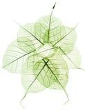 Зеленые прозрачные высушенные листья падения Стоковые Изображения RF