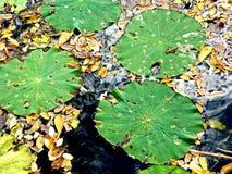Зеленые пусковые площадки лилии с листьями в воде Стоковые Фото