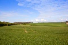 Зеленые пшеничные поля в весеннем времени Стоковая Фотография