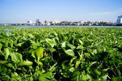 Зеленые растения на реке в Бангкоке Стоковые Изображения RF