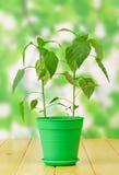 Зеленые растения перца в баке Стоковые Изображения RF