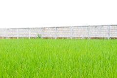 Зеленые рисовые посадки перед стеной изолированной на белой предпосылке, Стоковая Фотография RF