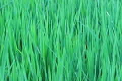 Зеленые рисовые посадки растут хорошо в плотность предпосылки стоковые изображения