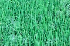 Зеленые рисовые посадки растут хорошо в плотность предпосылки стоковое фото