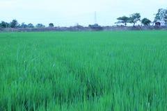 Зеленые рисовые посадки растут хорошо в плотность предпосылки стоковая фотография rf