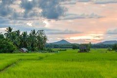 Зеленые рисовые поля и деревянный коттедж с предпосылкой кокосовой пальмы Стоковые Изображения