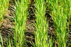 Зеленые ростки пшеницы в поле Стоковые Фотографии RF