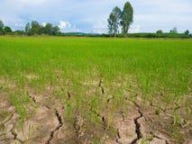 Зеленые саженцы неочищенных рисов и сухая почва трещина Стоковая Фотография RF
