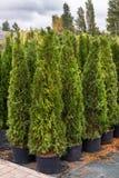 Зеленые саженцы arborvitae Стоковое Фото