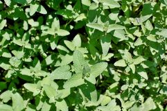 Зеленые свежие листья мяты Стоковое Фото