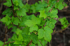 Зеленые свежие листья смородины стоковое изображение