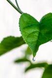 Зеленые свежие лист от ветви изолированного дерева Закройте вверх по детали лист Стоковое фото RF