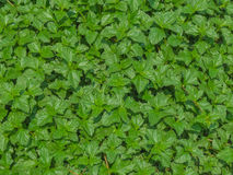 Зеленые свежие крапивы предпосылка, текстура лист стоковое фото