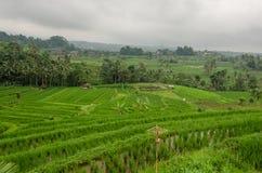 Зеленые свежие поля риса Стоковые Фотографии RF