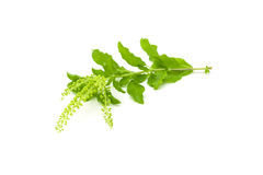 Зеленые святые цветки базилика Стоковые Фото