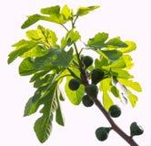 Зеленые смоквы Стоковое Изображение