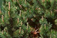 Зеленые сосны и closup конусов Стоковое Изображение