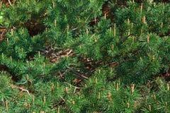 Зеленые сосны, конусы, ветви, предпосылка Стоковые Фото